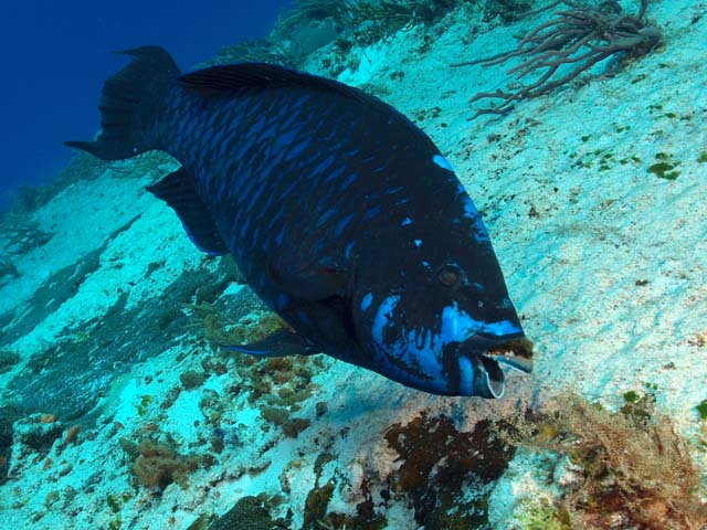 Scarus coelestinus Midnight parrotfish 1
