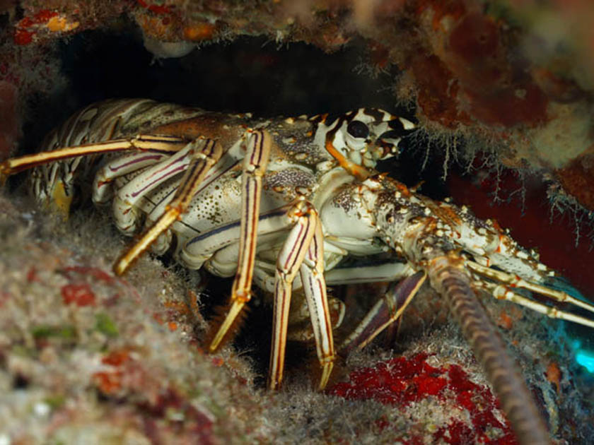 Panulirus argus spiny lobster