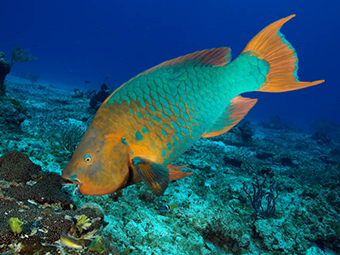 Scarus guacamaia male rainbow parrotfish SMALL